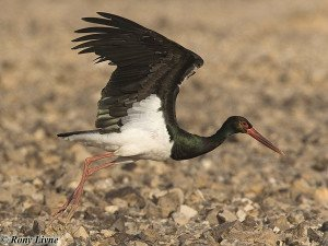black_stork2 copy