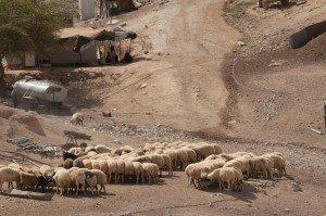 7 bedouin