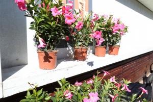 Tel Aviv window sill...in full bloom!